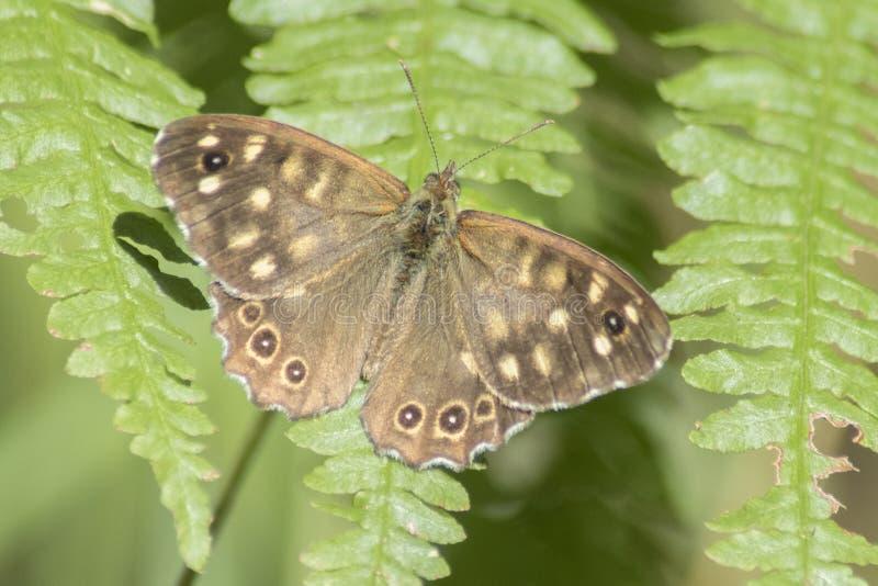 在叶子的一只有斑点的木蝴蝶 免版税库存照片