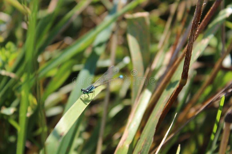 在叶子的一只蜻蜓 绿草 绿松石蜻蜓 夏天来了 昆虫 库存图片