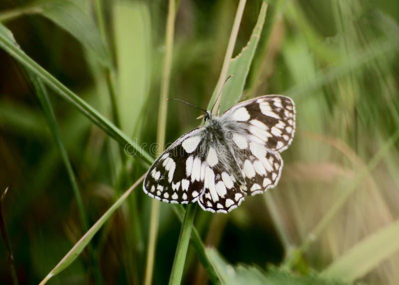 在叶子的使有大理石花纹的白色蝴蝶 库存图片