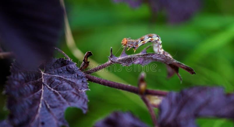 呈杂色的焦茶色的飞蛾库存照片 图片包括有