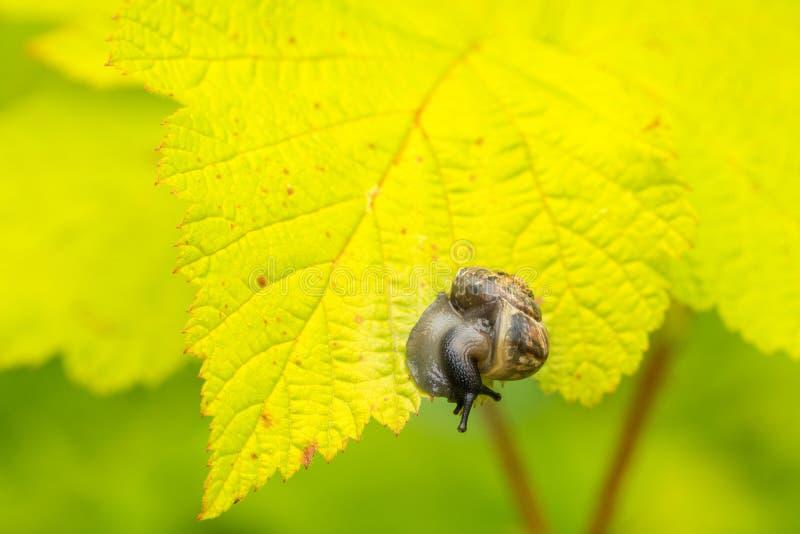 在叶子的小蜗牛 库存图片