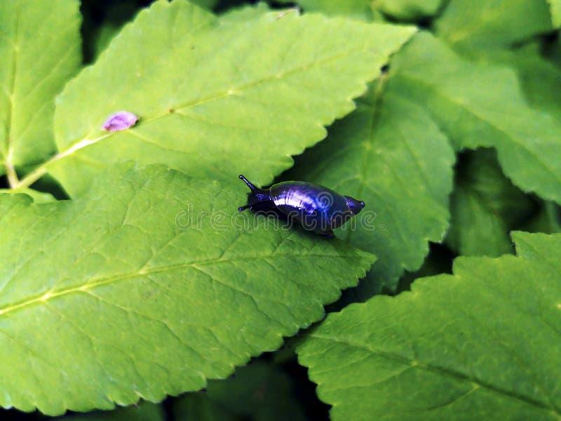 在叶子的微小的发光的霓虹池塘蜗牛 免版税库存图片