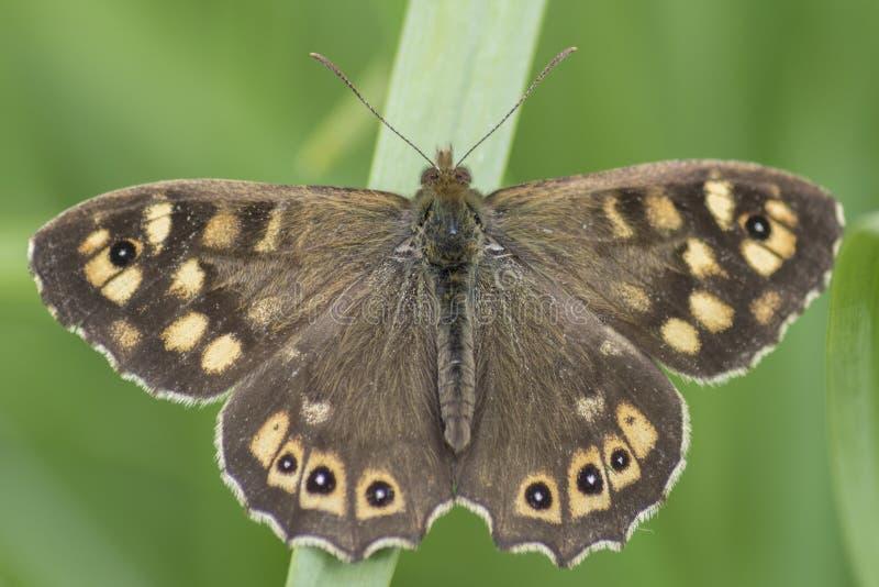 在叶子的有斑点的木蝴蝶 免版税图库摄影