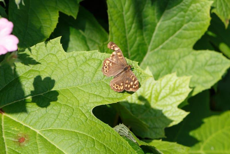 在叶子的有斑点的木蝴蝶 库存照片