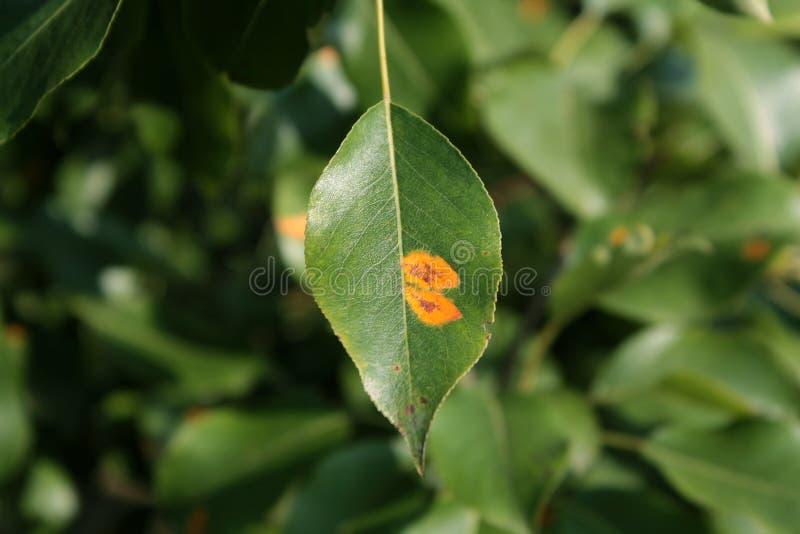 在叶子的梨铁锈 免版税库存照片