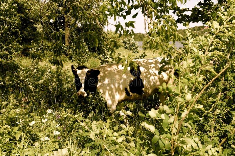 在叶子的母牛 库存图片