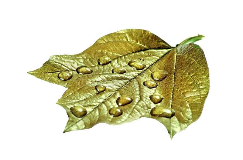 在叶子的水滴 在白色在下落的金叶隔绝的 r 免版税库存图片