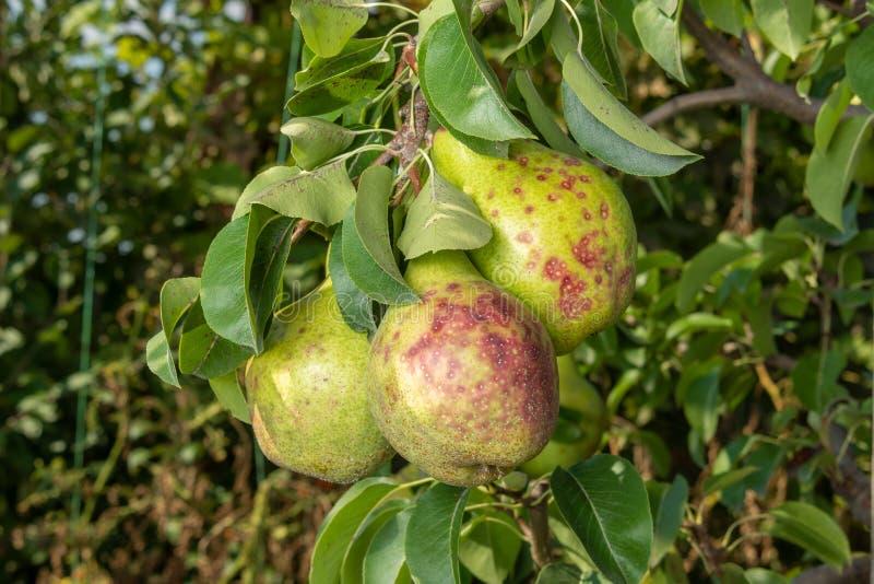 在叶子的洋梨树疾病和果子关闭  庭院的保护反对真菌的 图库摄影