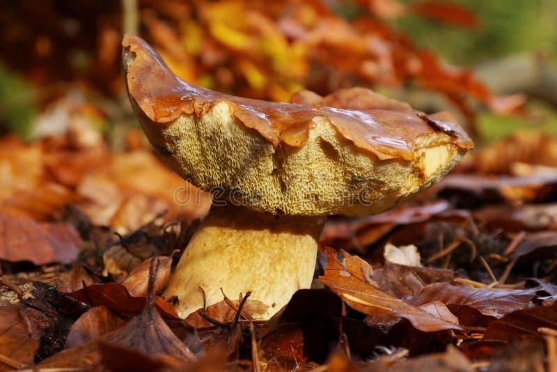 在叶子的牛肝菌蕈类蘑菇 免版税库存图片