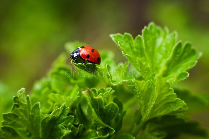 在叶子的瓢虫特写镜头 选择聚焦 免版税库存照片