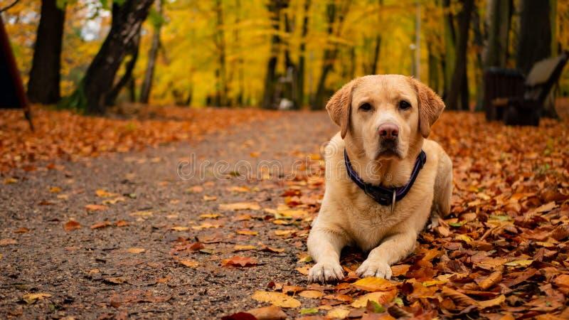 在叶子的白色成人拉布拉多猎犬在秋天公园 图库摄影