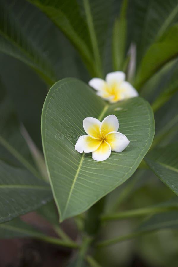 在叶子的白花 库存图片