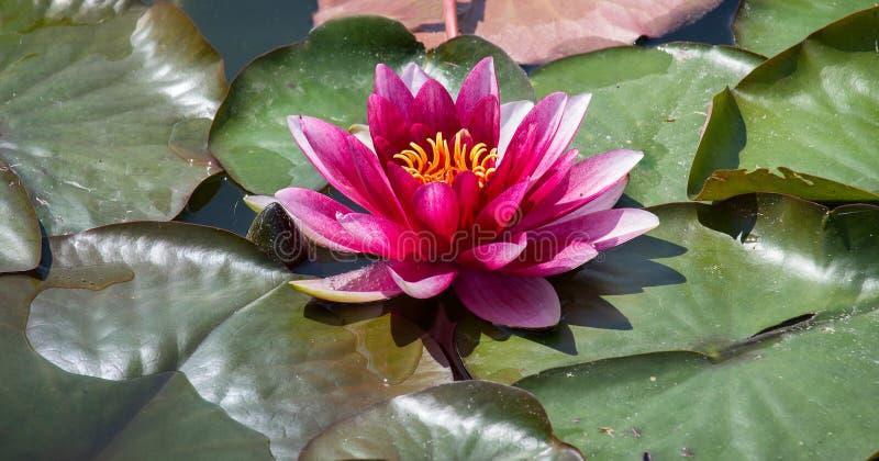 在叶子的红潮百合在小池塘 免版税图库摄影
