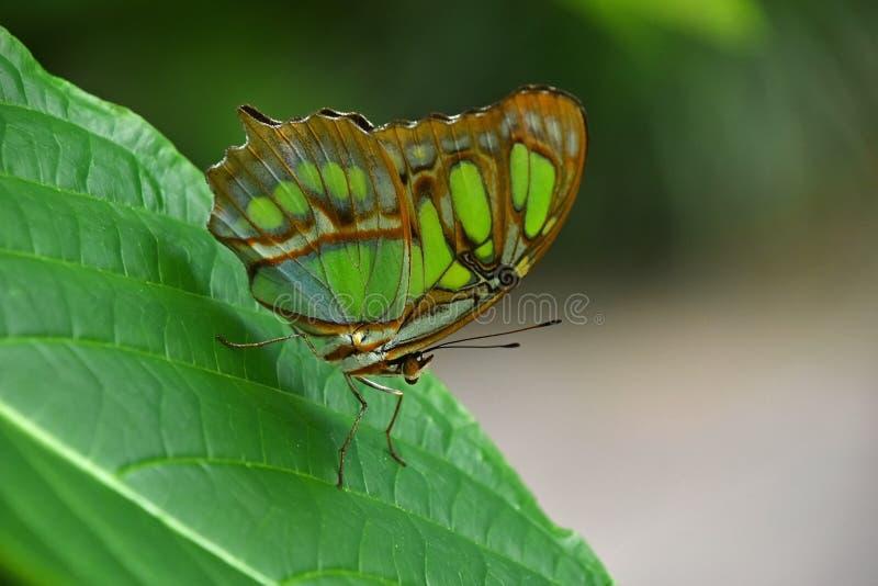 在叶子的绿色和棕色热带蝴蝶 库存照片