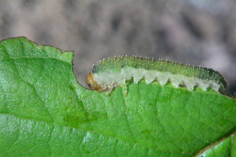 在叶子的绿色毛虫 库存照片