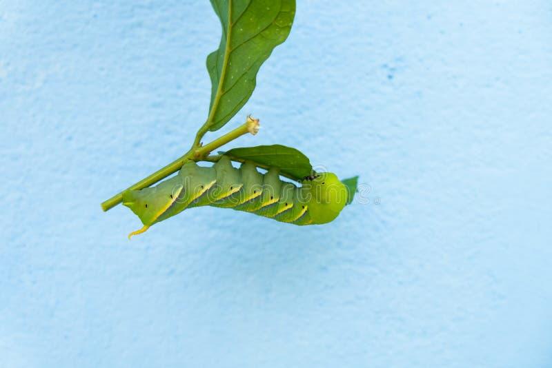 在叶子的绿色蠕虫 免版税库存图片