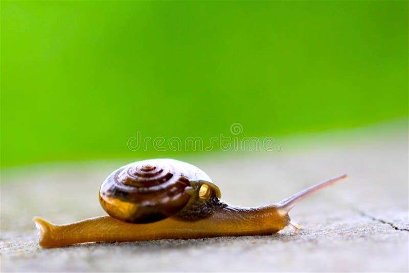 在叶子的蜗牛在庭院里 库存照片