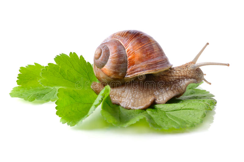 在叶子的蜗牛 免版税库存图片