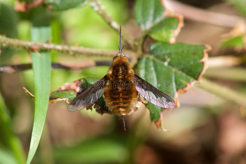 在叶子的蜜蜂飞行 免版税库存照片