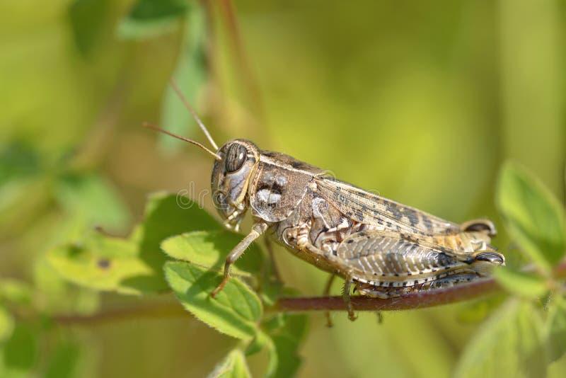 在叶子的蝗虫 免版税库存照片