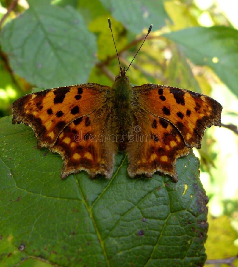 在叶子的蝴蝶 图库摄影