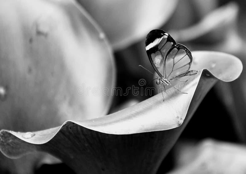 在叶子的透明蝴蝶 免版税库存照片