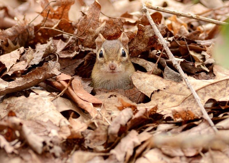 在叶子的逗人喜爱的小的花栗鼠 免版税图库摄影