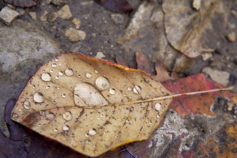 在叶子的露水叶子 库存图片