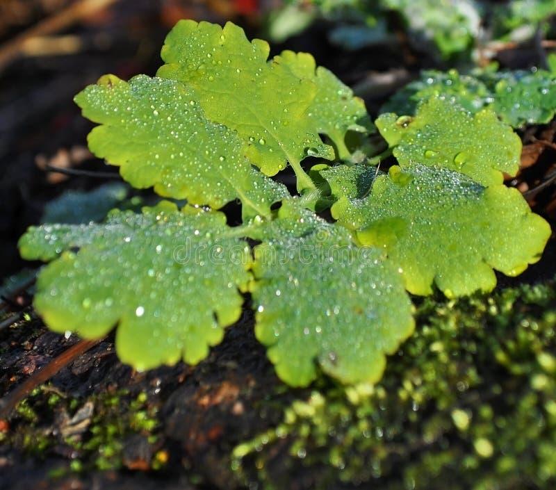 在叶子的露水小滴 免版税库存图片