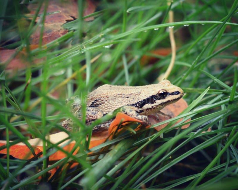 在叶子的青蛙在草 免版税库存照片