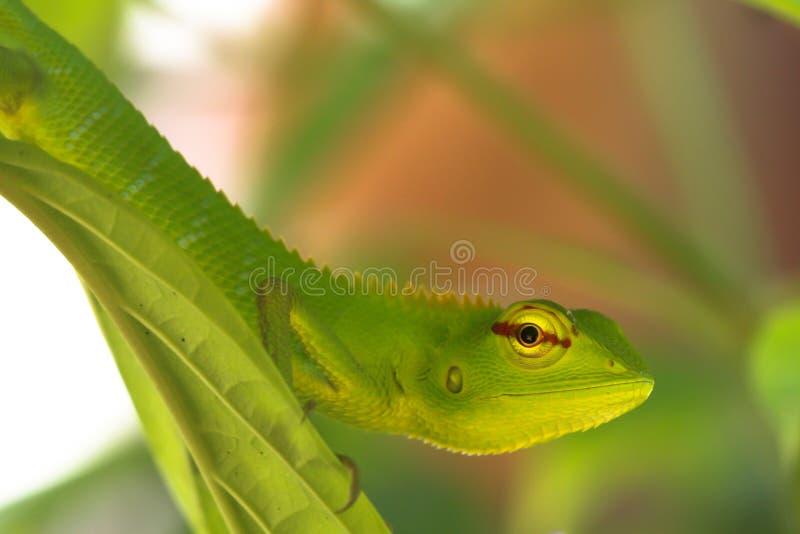 在叶子的绿色壁虎蜥蜴 免版税库存图片