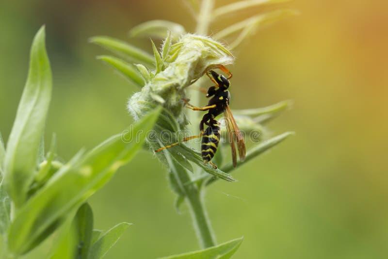在叶子的黄蜂 绿色叶子黄蜂 黄蜂sittin的宏观射击 库存图片