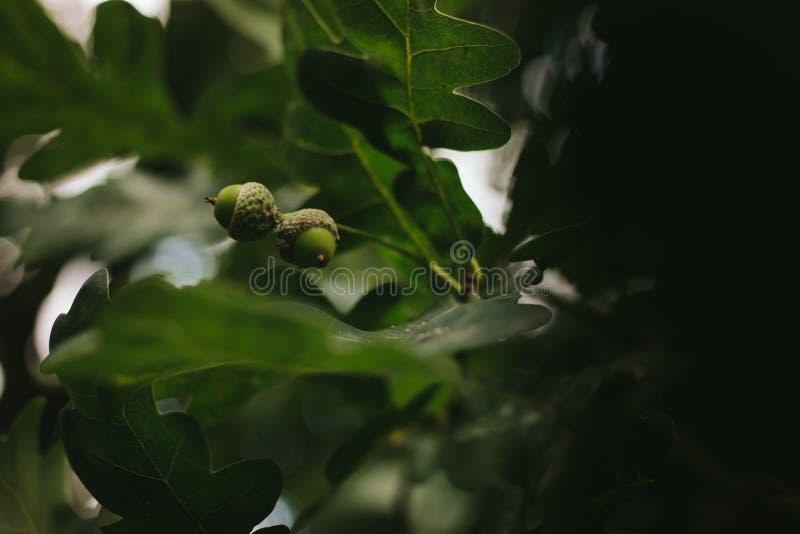 在叶子被弄脏的黑暗的背景的绿色橡木橡子  库存照片
