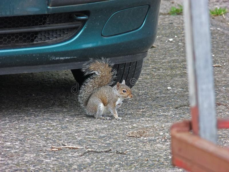 在吃插页的汽车灰色灰鼠下的灰色灰鼠 库存照片