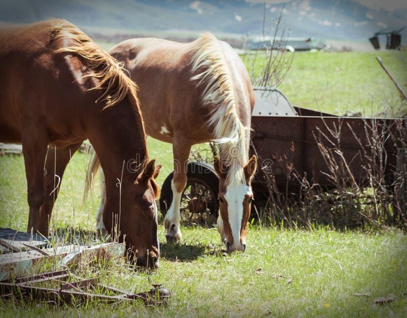 在吃绿草的农厂马的焦点 免版税库存图片