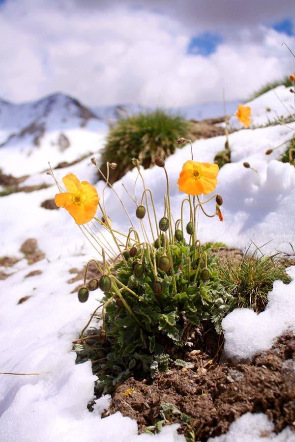 在吉尔吉斯斯坦雪山山脉的野花 图库摄影