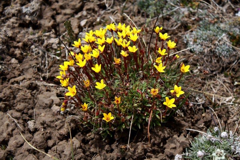 在吉尔吉斯斯坦雪山山脉的野花 免版税库存图片
