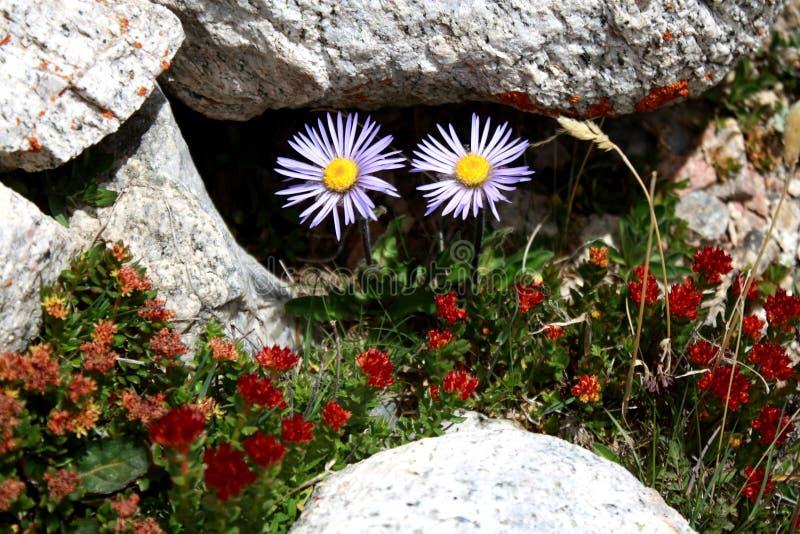 在吉尔吉斯斯坦雪山山脉的野花 免版税库存照片