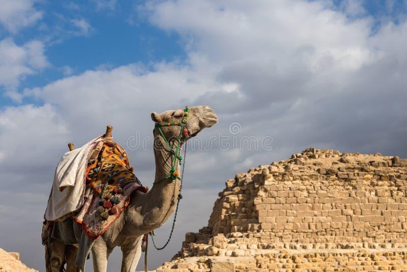 在吉萨棉金字塔背景的骆驼在埃及 免版税图库摄影