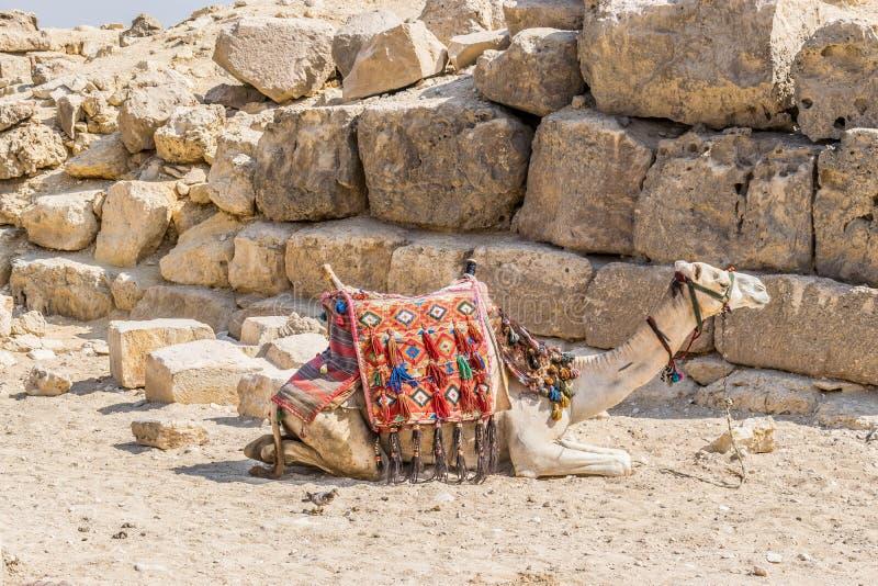 在吉萨金字塔旁边的骆驼 库存照片
