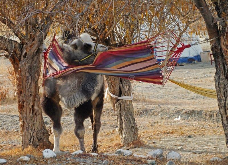 在吊床的骆驼 免版税库存照片