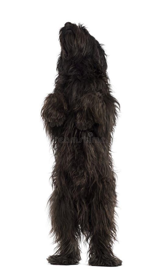 在后腿的公加泰罗尼亚的护羊狗,象熊 免版税库存图片