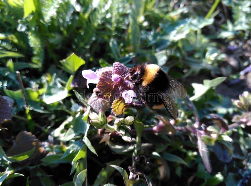 在后院的土蜂- ШР¼ ÐΜД ÑŒ Ð ½ а заÐ'Ð ½ ÐΜÐ ¼ Ð'Ð ² Ð ¾ Ñ€ÐΜ 库存图片