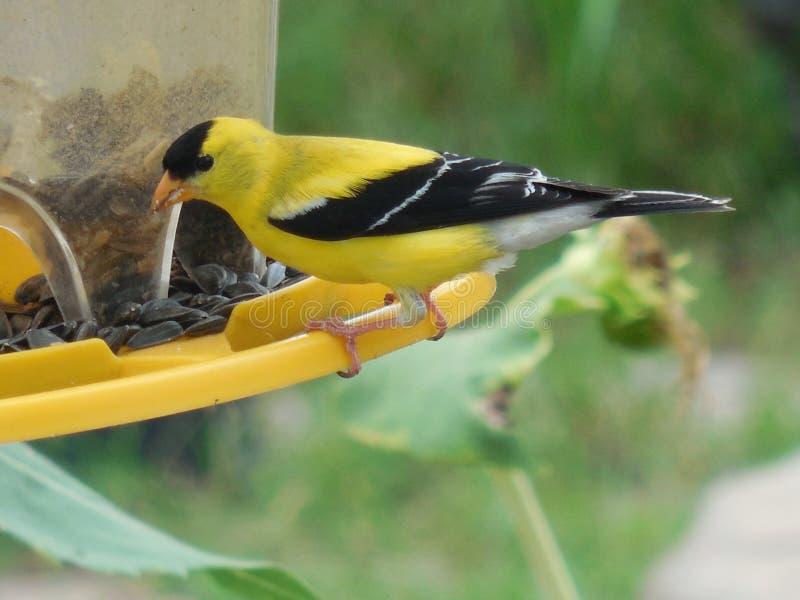 在后院饲养者的公金翅雀 免版税库存图片