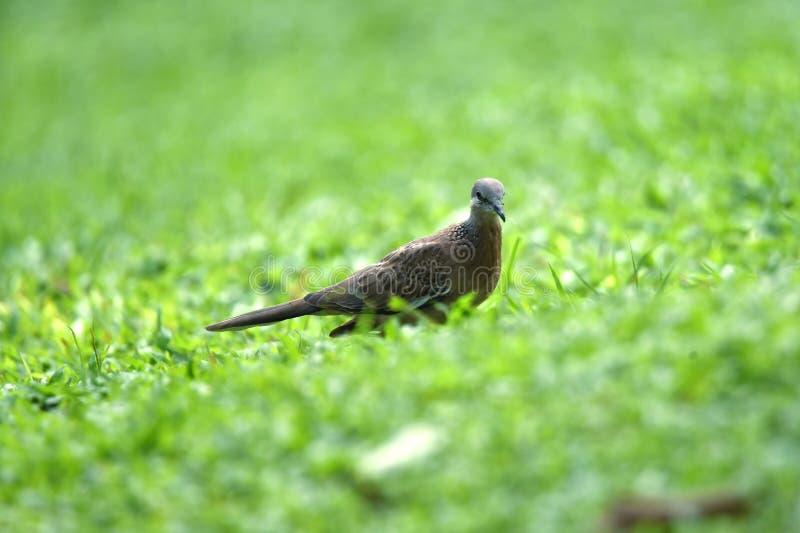 在后面和翼的灰发的乌龟鸟,有在他的肩膀的一种小的黑颜色的 免版税库存照片
