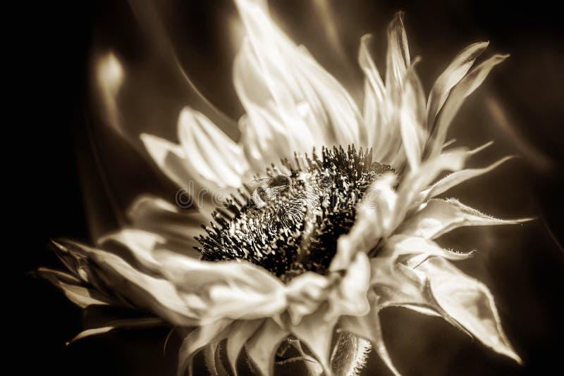 在向日葵开花的蜂在火 库存照片