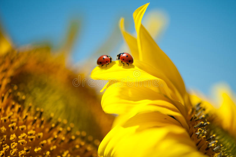 在向日葵的Bogis瓢虫 库存图片