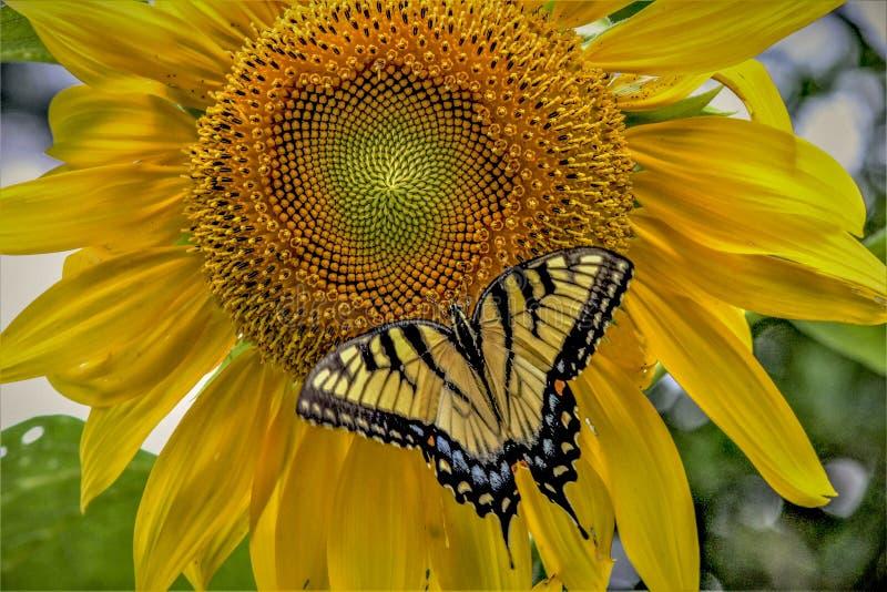 在向日葵的Swallowtail蝴蝶 库存图片