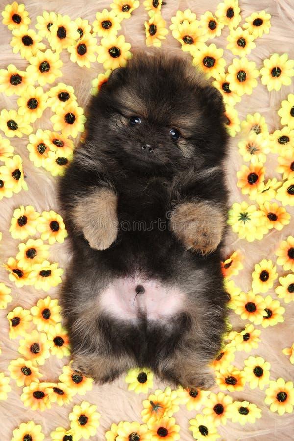 在向日葵背景的微小的波美丝毛狗小狗  免版税库存图片