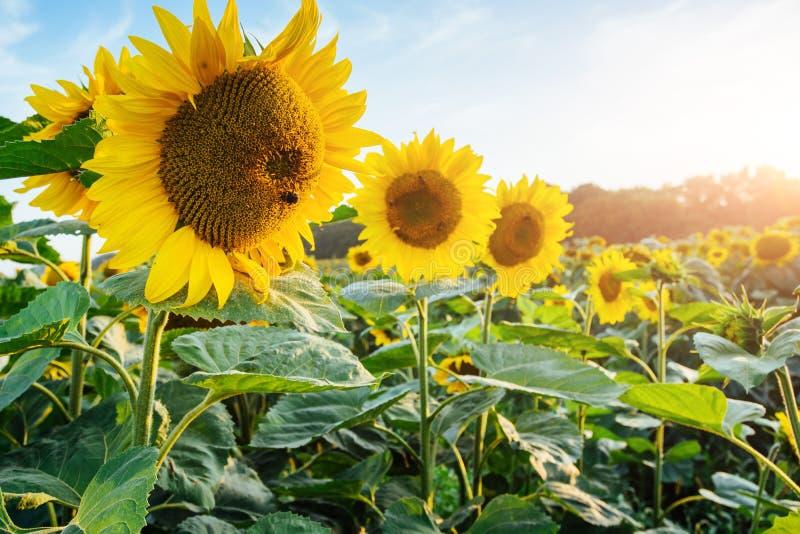 在向日葵领域的明亮的黄色,橙色向日葵花 向日葵领域美好的农村风景在晴朗的夏天 库存图片